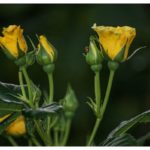 Blueten-und-Erntezeit-Krenglbach-Juli-2020-010
