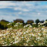 Blueten-und-Erntezeit-Krenglbach-Juli-2020-018